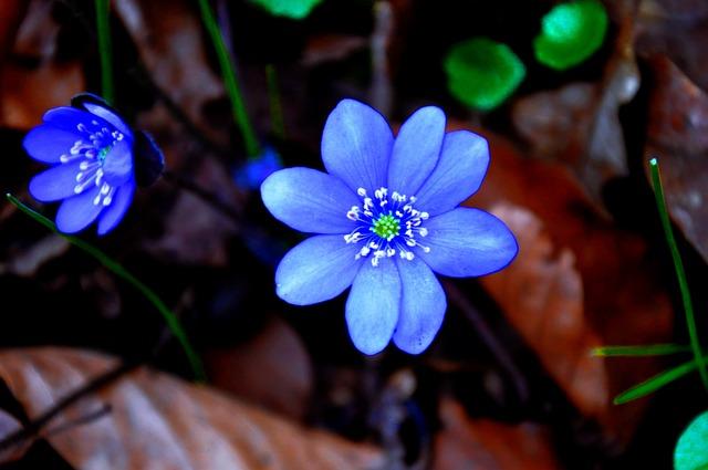 Hepatica Nobilis, Spring, Blue