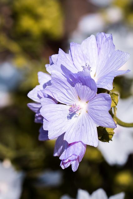 Stock Rose, Blue, Blue Stockrose, Blossom, Bloom