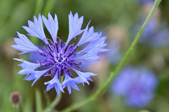 Cornflower, Blossom, Bloom, Blue, Summer, Violet