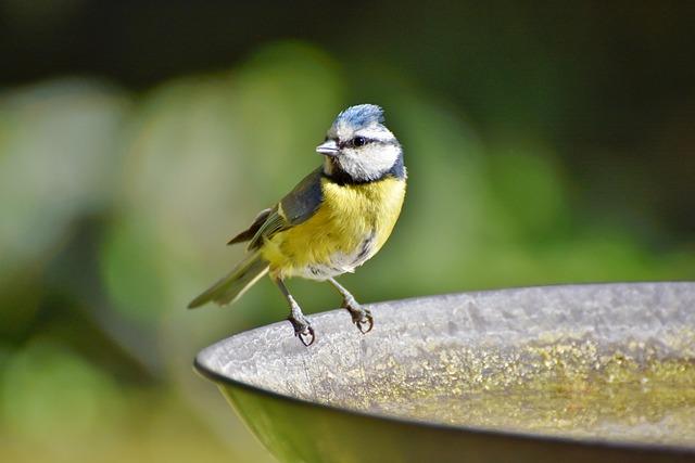 Blue Tit, Tit, Songbird, Bird, Bird Bath, Drink