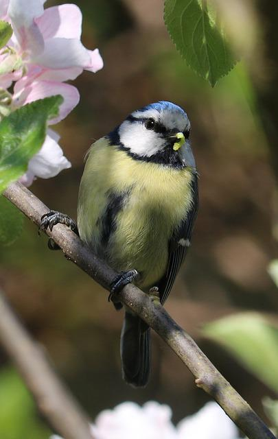 Blue Tit, Bird, Blossom, Caterpillar, Tree