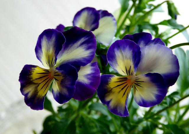 Pansy, Honrveilchen, Blue, Yellow, Transparent