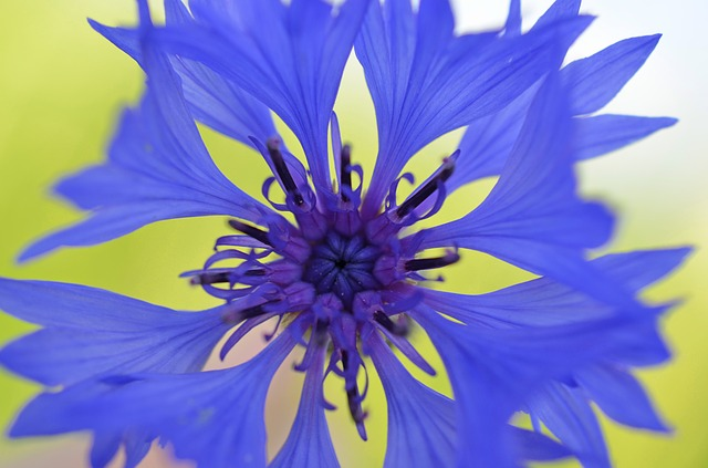 Cornflower, Blossom, Bloom, Blue Violet, Nature, Flower