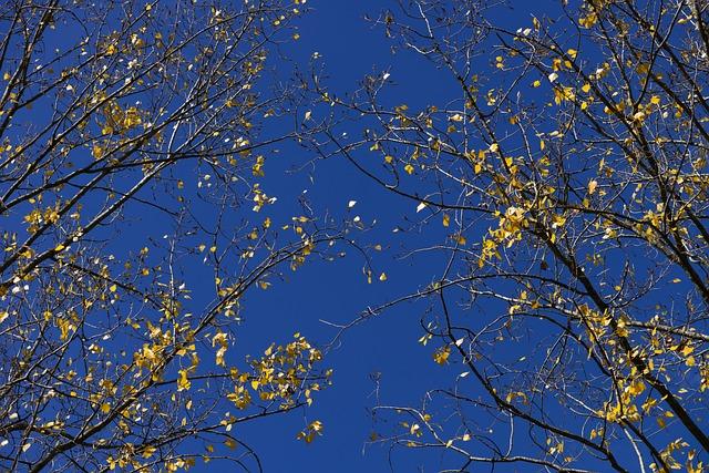 Poplar, Foliage, Yellow, Sky, Blue, Wallpaper