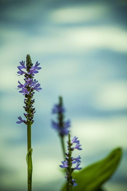 Water, Flower, Purple, Blue, Aqua, Aquatic, Nature