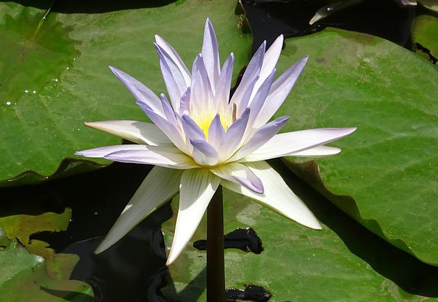 Lily, Water Lily, Nymphaea Caerulea, Blue Water Lily
