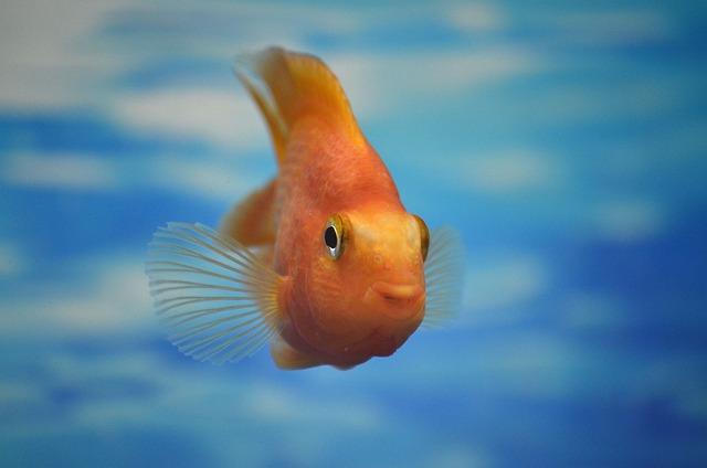 Aquarium, Small Fish, Water, Blue, Golden