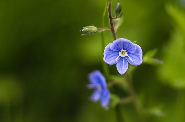 Flower, Blue, Little, Veronica, Wild, Background, Bloom
