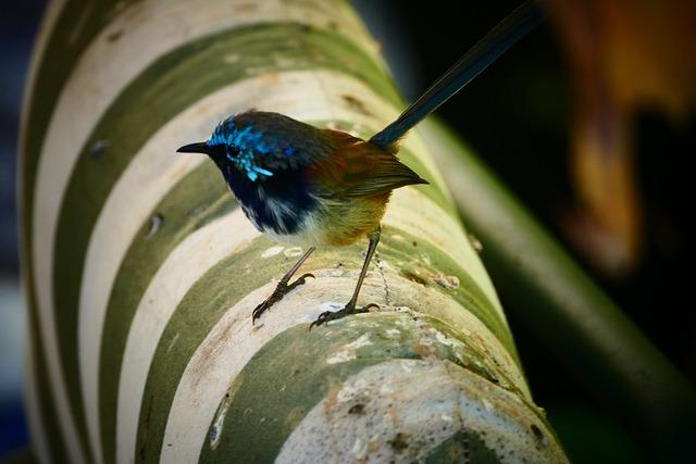 Blue Wren, Bird, Nature