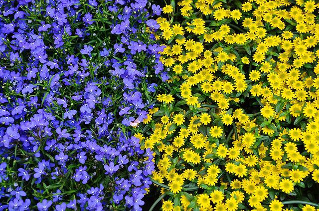 Flowers, Plant, Nature, Blue, Yellow, Flora, Colours