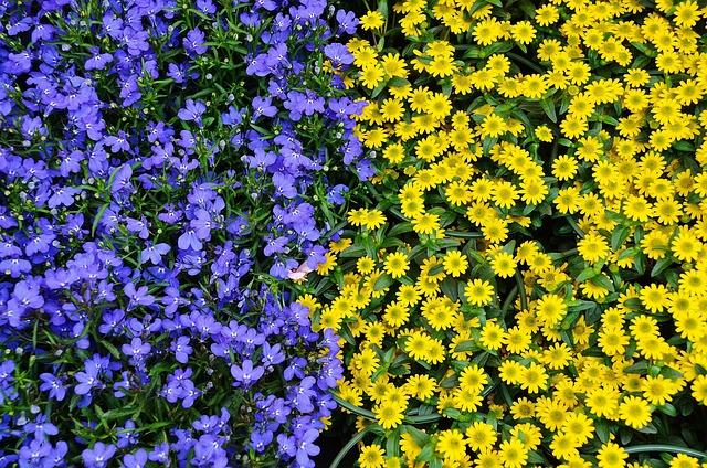 Flowers, Plant, Nature, Blue, Yellow, Flora, Colours