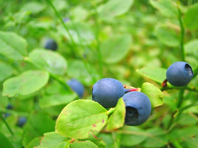 Blueberries, Growing, Close View, Bilberry, Hurtleberry