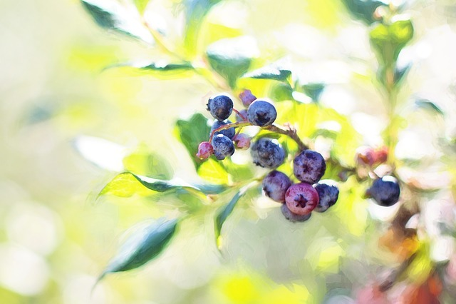 Blueberries, Bush, Summer, Fruit, Nature, Blueberry