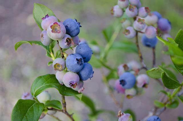 Blueberries, Blueberry Bush, Blueberry, Fruit
