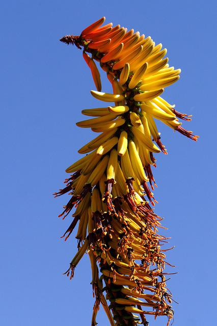 Bluehtenstand, Aloe, Botswana, Structure, Plant