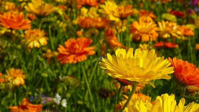 Marigold, Flowers, Blütenmeer, Flower Meadow