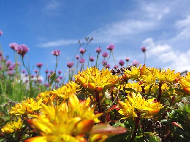 Sedum, Stonecrop, Summer, Flowers, Blütenmeer, Yellow
