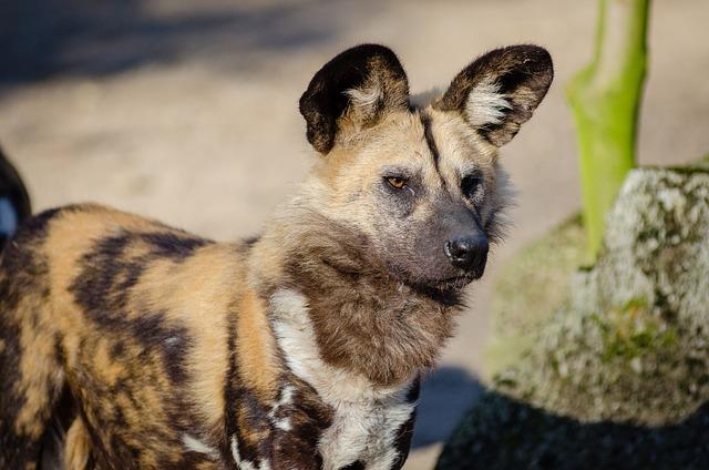 African Wild Dog, Animal, Animal Photography, Blur