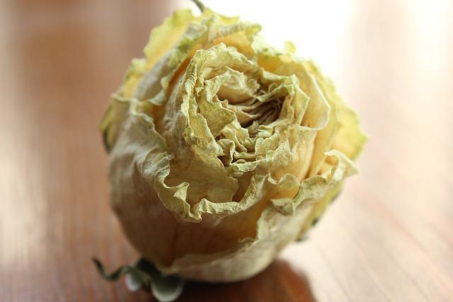 Rosa, Flower, Still Life, Dry Flower, Yellow Rose, Blur