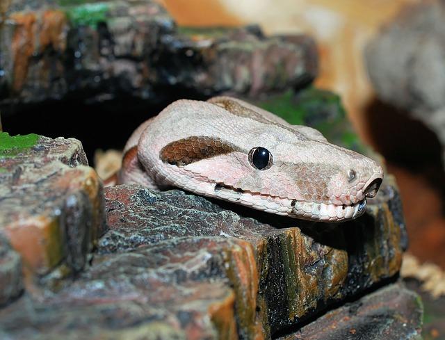 Snake, Boa Constrictor Imperator, Reptile, Boa, Lurking