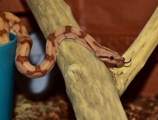 Snake, Boa Constrictor Imperator, Yellow, Reptile, Boa