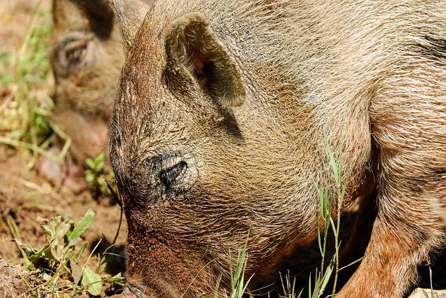 Boar, Pig, Sow, Wild Pigs, Creature, Vertebrate, Mammal