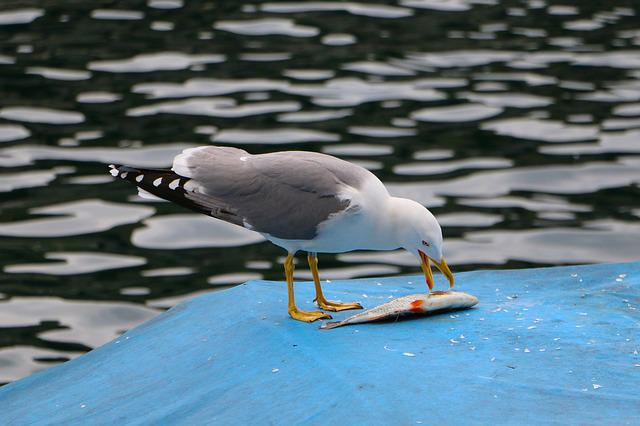 River, Animal World, Boat Cover, Gull, Fish, Meal, Food
