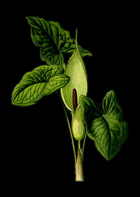 Arum, Arum Lily, Bobbins, Floral, Flower, Flowering