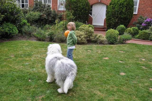 Bobtail, Dog, Child, Young, Boy, Fellig, Play, Ball