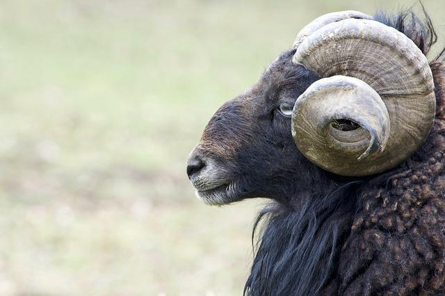 Aries, Mouflon, Bock, Animal, Nature, Animal World