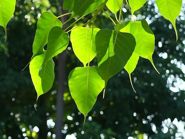 Bodhi Leaf, Tree Leaf, Green, Buddhism, Light