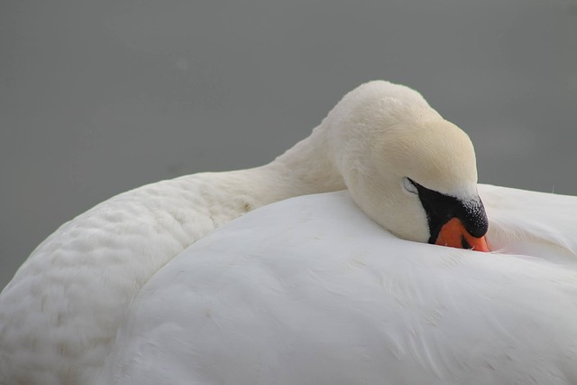 Bird, Nature, Swan, Body Of Water, Fauna, Pen