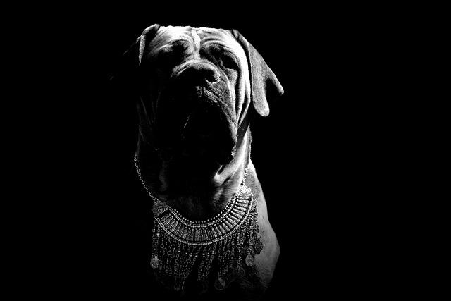 Boerboel, Peanut Bulldog, Dog, Puppy, Mastiff, Animal