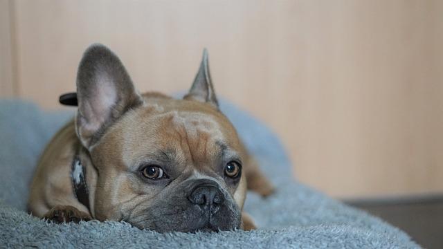French Bulldog, Bokeh Effect, Dog, Background, Break
