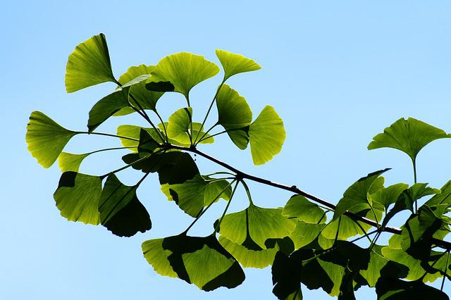 Ginkgo, Gingko, Biloba, Leaves, Bokeh, Green, Leaf