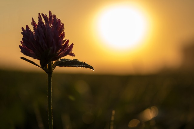 Clover Flower, Clover, Flower, Macro, Sunrise, Bokeh