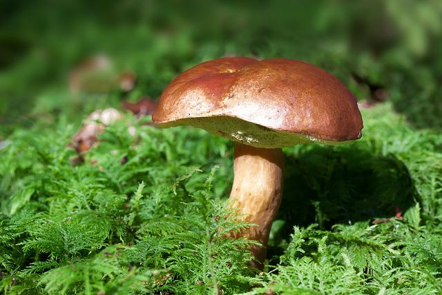 Mushroom, Bay Bolete, Boletus Badius, Moss