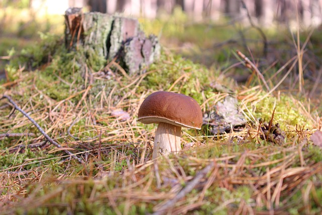 Boletus, Boletus Edulis, Mushroom, Autumn, Forest