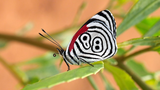Butterfly, Insect, Wings, Tropical, Bolivia