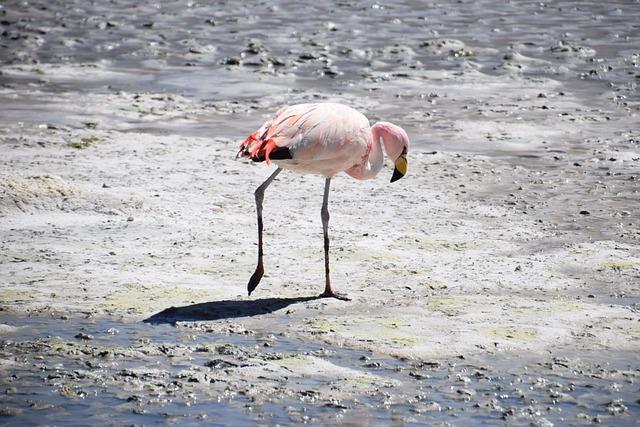 Flamingo, Bolivia, Pink