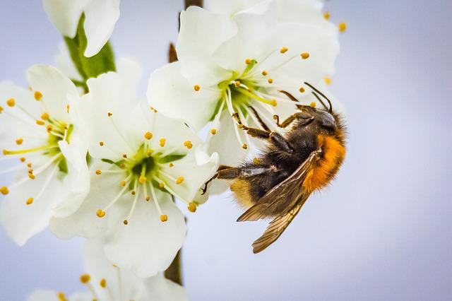 Hummel, Bombus, Blossom, Bloom, Insect, Animal, Garden