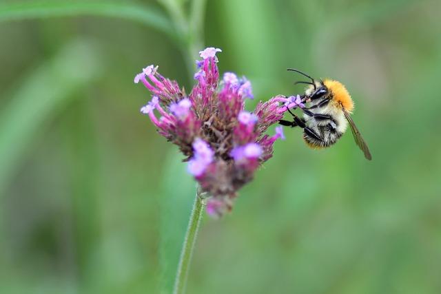 Bourdon, Insect, Forage, Bombus, Flower, Macro