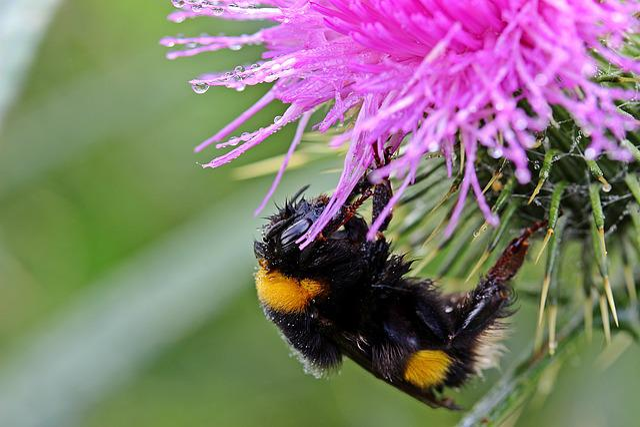 Hummel, Meadow Hummel, Bombus Pratorum Insect, Fly, Wet