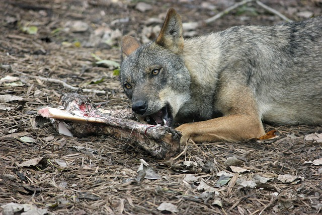 Iberian Wolf, Wolf, Iberian, Dog, Fur, Bone, Bones