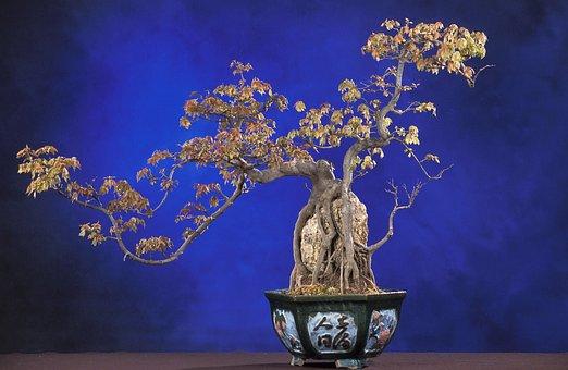 Bonsai, Acer Buergerianum, Bonsai Tree, Tree