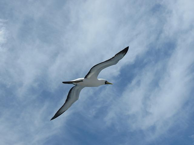 Booby, Seagull, Abrolhos