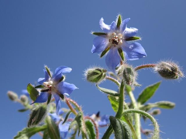Borage, Borago Officinalis, Cucumber Herb, Blossom