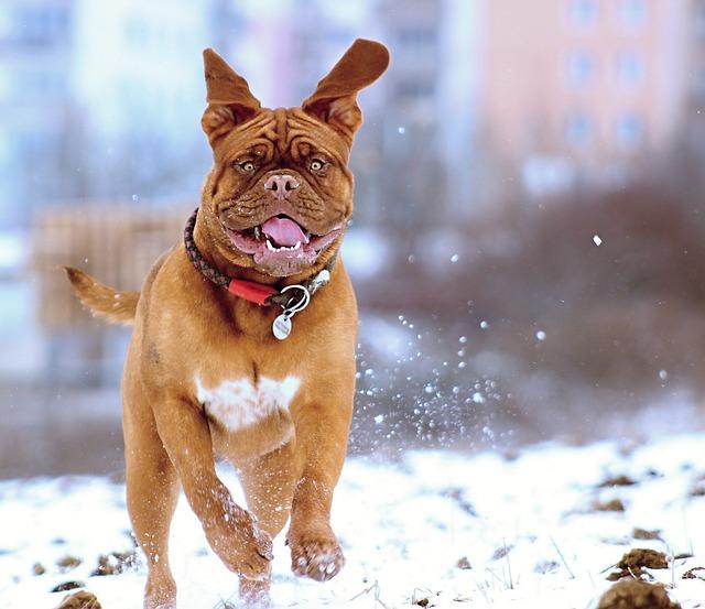 Snow, Dog, De, Bordeaux, Mastiff, Winter, Puppy, Funny