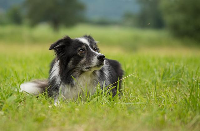 Border Collie, Dog, British Sheepdog, Purebred Dog