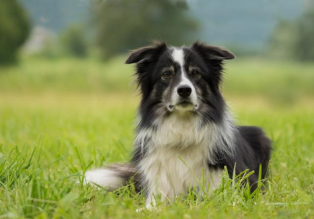 Border Collie, Dog, Collie, British Sheepdog, Border
